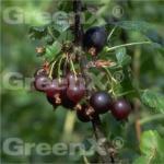 Jostabeere 40-60cm - Ribes nidigrolaria