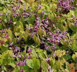 Elfenblume Rubinkrone - Epimedium grandiflorum
