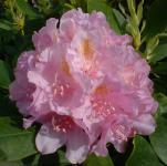 Großblumige Rhododendron Allah 40-50cm - Alpenrose