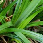 Waldsegge - Carex sylvatica