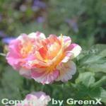 Malerrose Claude Monet® 30-60cm