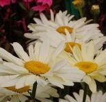 Gartenmargerite Banana Cream - Leucanthemum superbum
