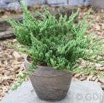 Blauer Kriechwacholder Blue Chip 30-40cm - Juniperus horizontalis