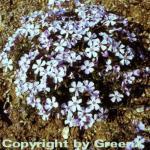 Wilder Phlox Ariane - Phlox stolonifera