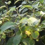 Strauch Weide 100-125cm - Salix magnifica
