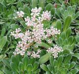 Rosetten Steinbrech Isouthside Seedling - Saxifraga cotyledon