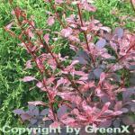 Beberitze Rose Glow 40-60cm - Berberis thunbergii
