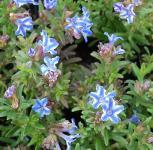 Steinsamen Star - Lithodora diffusa
