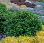 Beberitze Kobold 20-25cm - Berberis thunbergii