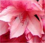 Rhododendron Millenium 30-40cm - Rhododendron viscosum