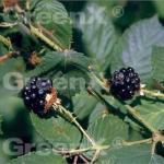 Brombeere Theodor Reimers - Rubus fruticosus