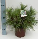 Schwerin Kiefer Wiethorst 30-40cm - Pinus schwerinii