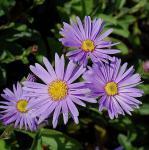 Sommeraster Blütendecke - Aster amellus