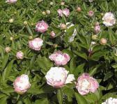 Edelpfingstrose Catharina Fontijn - Paeonia lactiflora