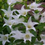 Zwergglockenblume White Baby - Campanula cochleariifolia