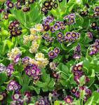 Gartenaurikel Exhibition Blue - Primula pubescens