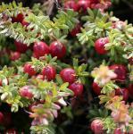 Cranberry Pilgrim 15-20cm - Vaccinium macrocarpon