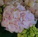 Bauernhortensie Everbloom Pink Wonder® 30-40cm - Hydrangea macrophylla
