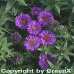 Rauhblattaster Purple Dome - Aster novae angliae