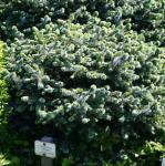 Stechfichte Silberzwerg 30-40cm - Picea sitchensis