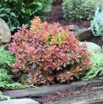 Beberitze Golden Ring 25-30cm - Berberis thunbergii