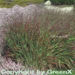 Rutenhirse Rotstrahlbusch - großer Topf - Panicum virgatum