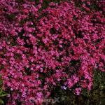 Teppich Phlox Temiskaming - Phlox subulata