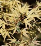 Fächerahorn Beni-shishi-henge 125-150cm - Acer palmatum
