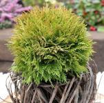 Kugel Lebensbaum Mirjam® 15-20cm - Thuja occidentalis