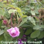 Historische Rose Muscosa 30-60cm