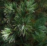 Zirbelkiefer Compacta Glauca 40-50cm - Pinus cembra