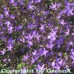 Glockenblume Stella - Campanula poscharskyana