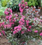 Weigelie Minor Black 40-60cm - Weigela florida