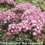Berglorbeer Minuet 25-30cm - Kalmia latifolia