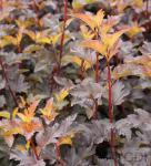 Blasenspiere Center Glow 80-100cm - Physocarpus opulifolius