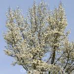 Kobushi Magnolie Elsveld Select 40-60cm - Magnolia kobus