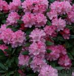 Hochstamm Rhododendron Graf Anton Günther 60-80cm - Alpenrose