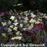 Schwefelfarbige Elfenblume - Epimedium versicolor