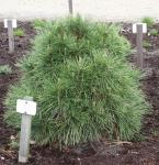 Kugelschwarzkiefer Green Spielberg 50-60cm - Pinus nigra Spielberg
