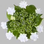 Bauernhortensie Fireworks White® 30-40cm - Hydrangea macrophylla