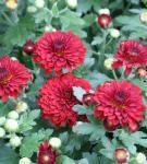Winteraster Fellbacher Wein - Chrysanthemum Indicum