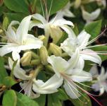 Azalee June Jubilee 30-40cm - Rhododendron luteum - Alpenrose