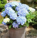 Kleinwüchsige Gartenhortensie Nikko Blue 30-40cm - Hydrangea macrophylla