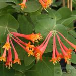 Rote Geisschlinge Dropmore Scarlet 40-60cm - Lonicera brownii