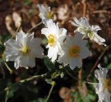 Herbstanemone Whirlwind - Anemone japonica