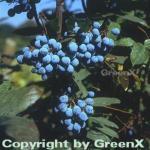 Mahonie 40-60cm - Mahonia aquifolium