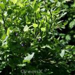 Wilde Heidelbeere 10-15cm - Vaccinium myrtillus