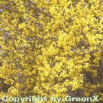 Forsythie Lynwood 100-125cm - Forsythia
