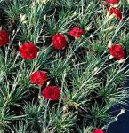 Federnelke David - Dianthus plumarius