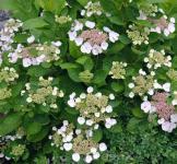 Bauernhortensie Libelle 30-40cm - Hydrangea macrophyll